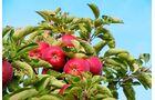 Im Jahr werden hier rund 300 000 Tonnen Äpfel geerntet
