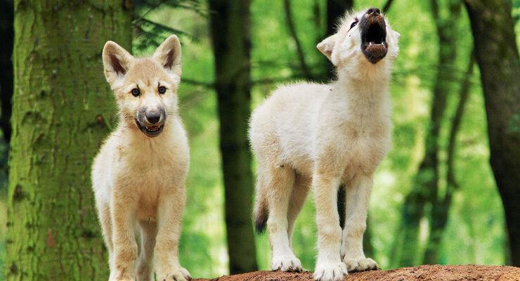 Wolfswelpen im Wolfscenter Dörverden